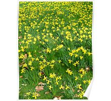 millions of daffodils Poster