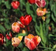 Montpelier Tulips by Joe Jennelle