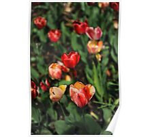 Montpelier Tulips Poster