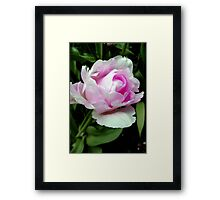 The beauty of a rose!!! © Framed Print