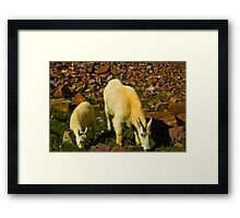 Two Mountain Goats Getting a little too Close Framed Print