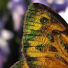 Iridescent Wing by straylight