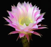 Pink Cactus by Floyd Hopper