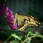 Giant Swallowtail by Catherine  Howell