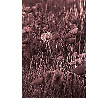 Poppies - but not as you know them Photographic Print
