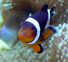 Unhappy Clown Fish by Brittani Brooke