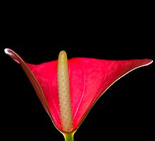 Lady Love Anthurium by Barrie Kent