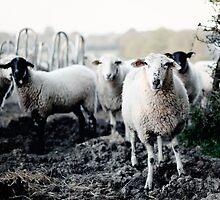 Sheep by Lenoirrr