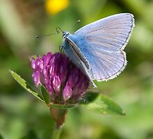 Holly Blue by Colin Payne
