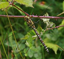 Welsh Dragonfly by RedHillDigital