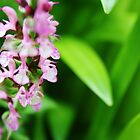 Beautiful pink salvia surrounded by leaves by SunshineSong