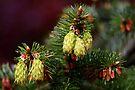 "spring ""cones"" by dedmanshootn"