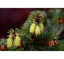 "spring ""cones"" Photographic Print"