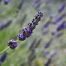 Lavender by Karen Havenaar