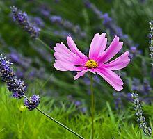 Pink on Purple by Karen Havenaar