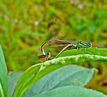 Eastern Forktail Damselflies - Ischnura verticalis - Love on a Leaf by MotherNature