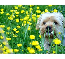 buttercups and hamish Photographic Print