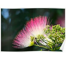 Mimosa Tree Flower Blooms By Jonathan Green Poster