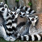 ringtail lemurs by Brett Watson Stand By Me  Ethiopia