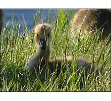 Last Chick to be Hatched Photographic Print