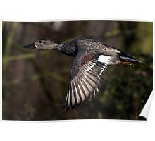 The Gadwall Poster