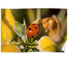 Ladybird in gorse-bush ~ Scotland UK Poster