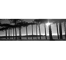 Monkey Puzzles trees Photographic Print