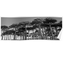 Angled Monkey Puzzle Trees Poster