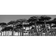 Angled Monkey Puzzle Trees Photographic Print