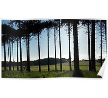 Monkey puzzles trees colour Poster