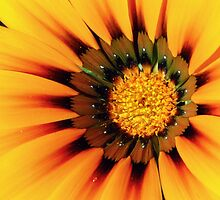 Sunburst Gazania by sweet1d6
