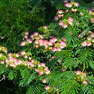 Mimosa Tree Blooms North Carolina USA By Jonathan Green by Jonathan  Green