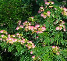 Mimosa Tree Blooms North Carolina USA By Jonathan Green by Jonathan  Green