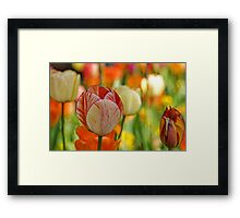 Soft Tulips Framed Print