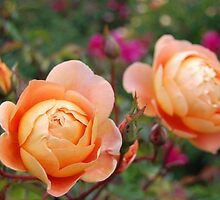 Two Orange Roses by sweet1d6