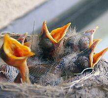 Baby Robins 3 by Debbie Pinard