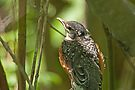 American Robin Fledgling (Turdus migratorius jr) by Mike Oxley