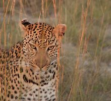 Leopard Stalking by Qish