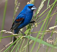 Blue Grosbeak in Habitat by Michael Mill
