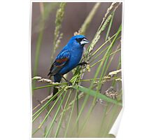 Blue Grosbeak in Habitat Poster
