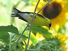 Goldfinch and Sunflowers by Veronica Schultz