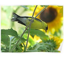Goldfinch and Sunflowers Poster