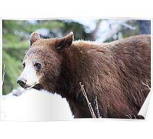 Female Bear Poster