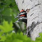 Piliated Woodpecker Chicks by Marty Samis