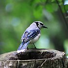 Stumped Bluejay by Alyce Taylor