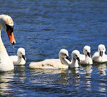 Swan and Cygnets by Alyce Taylor