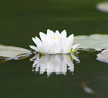 Water Lily by Alyce Taylor