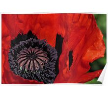 Giant Poppy Centre Point Poster