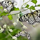 Rice paper butterflies by Kath Gillies