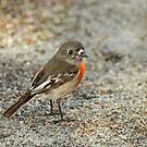 Juveniel Scarlet Robin by Robert Abraham